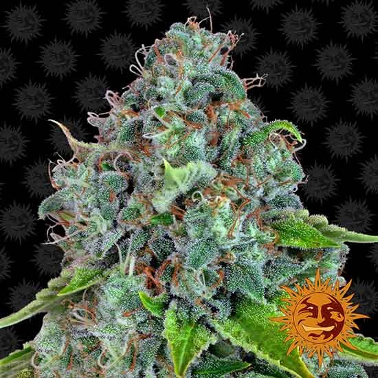 STRAWBERRY LEMONADE - Barney's Farm - Seed Banks