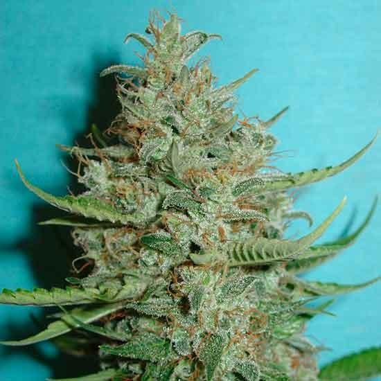 Super Crystal - 5 seeds - Fantaseeds - Seed Banks
