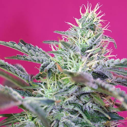 Sweet Cheese Auto - Sweet Seeds - Seed Banks