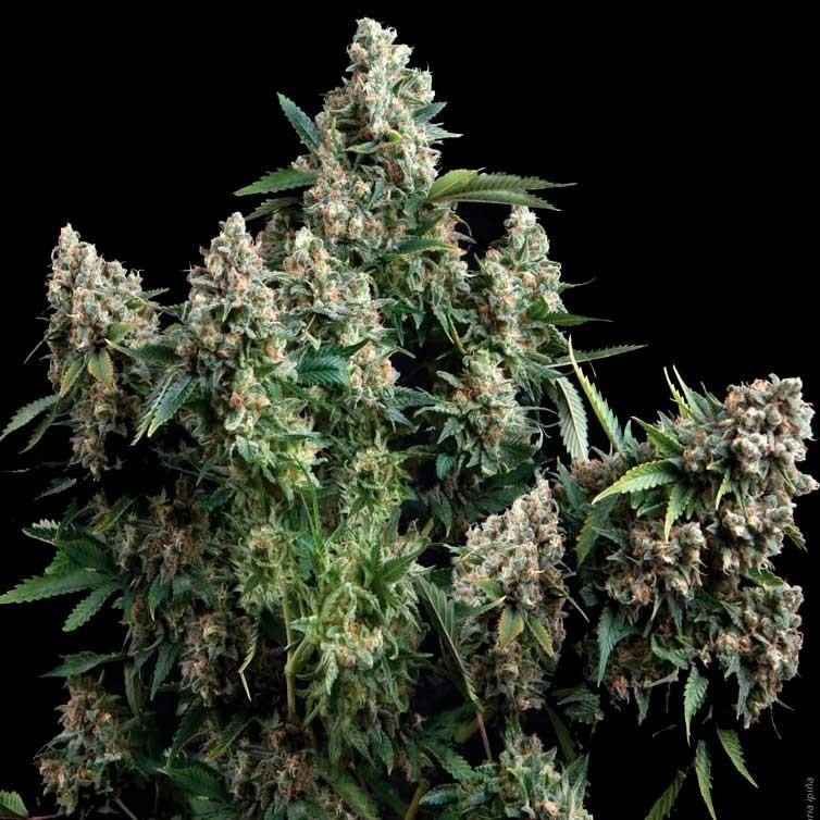 AUTO TUTANKHAMON - Pyramid Seeds - Seed Banks