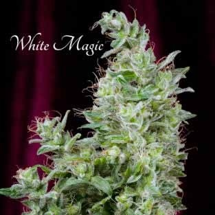 White Magic  - Mandala Seeds - Seed Banks