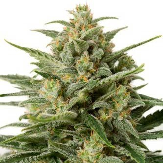 WHITE WIDOW XXL AUTO - Dinafem - Seed Banks
