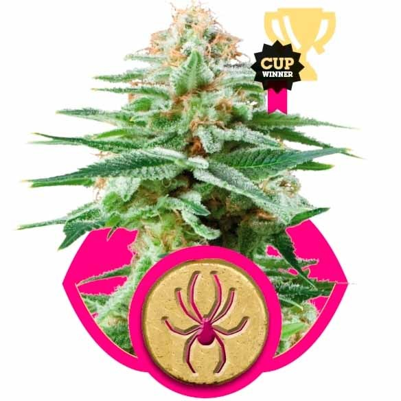 WHITE WIDOW - Royal Queen Seeds - Seed Banks