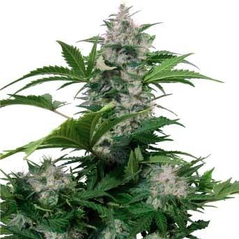 White Dwarf Auto Regular - Buddha Seeds - Seed Banks