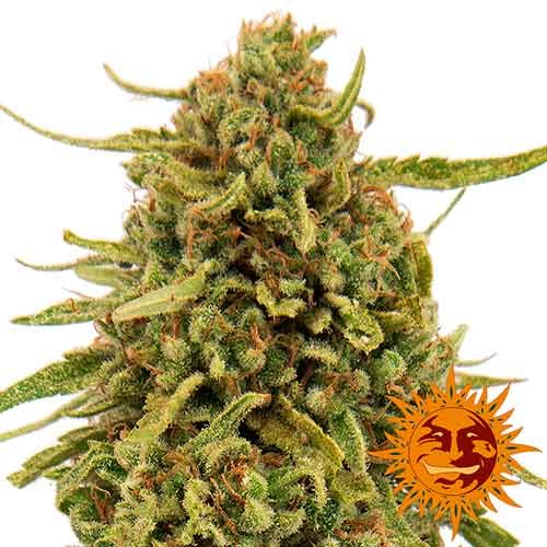 WIDOW REMEDY REGULAR - 10 seeds - Barney's Farm - Seed Banks