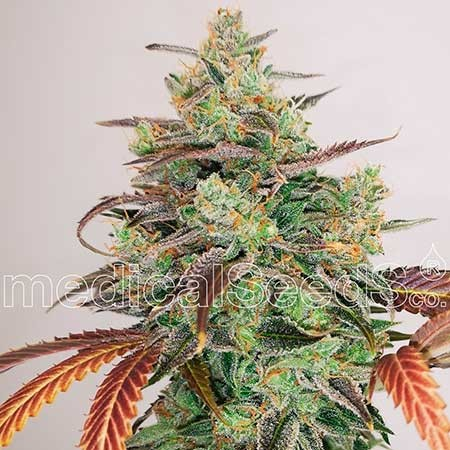 Y Griega CBD 2.0 - Medical Seeds - Seed Banks