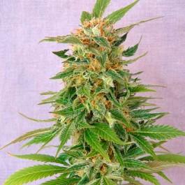 Ginger Punch Auto - Samsara Seeds - Kannabia