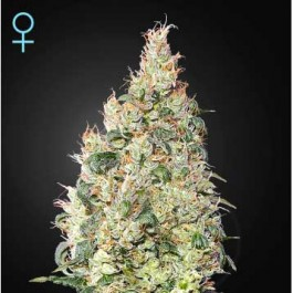 Great White Shark CBD - Samsara Seeds - GreenHouse
