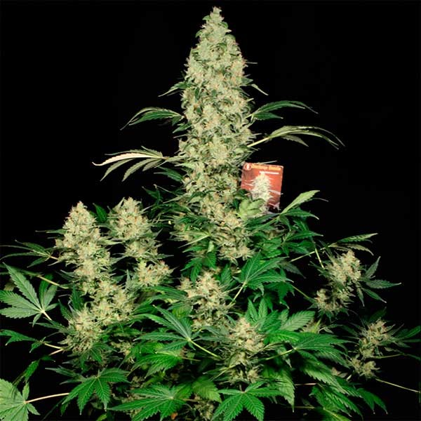 AK-47 - Serious Seeds - Seed Banks