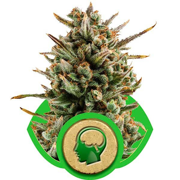 Amnesia Haze Automatic - Royal Queen Seeds - Seed Banks