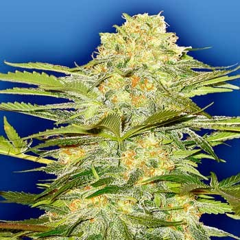 Artic Sun - 10 seeds - Flying Dutchmen - Seed Banks