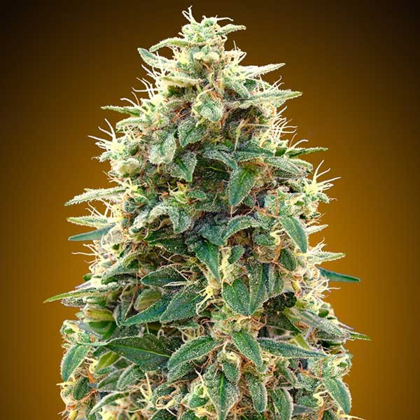 Auto 00 Cheese - 5 seeds - 00 Seeds - Seed Banks
