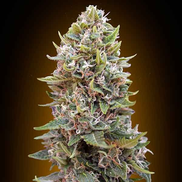 Auto Chesse Berry - 5 seeds - 00 Seeds - Seed Banks