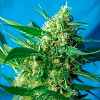 ICE COOL AUTO  - Sweet Seeds - Seed Banks