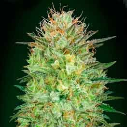 Auto Sweet Critical - 5 seeds - 00 Seeds - Seed Banks
