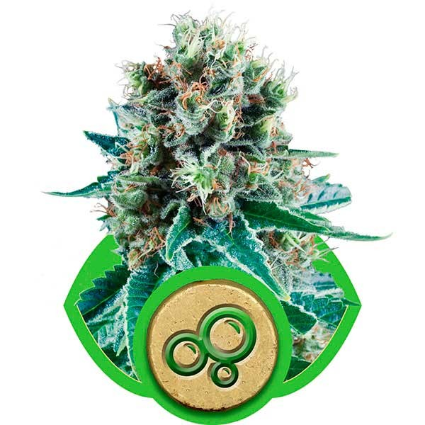 Bubble Kush Automatic - Royal Queen Seeds - Seed Banks