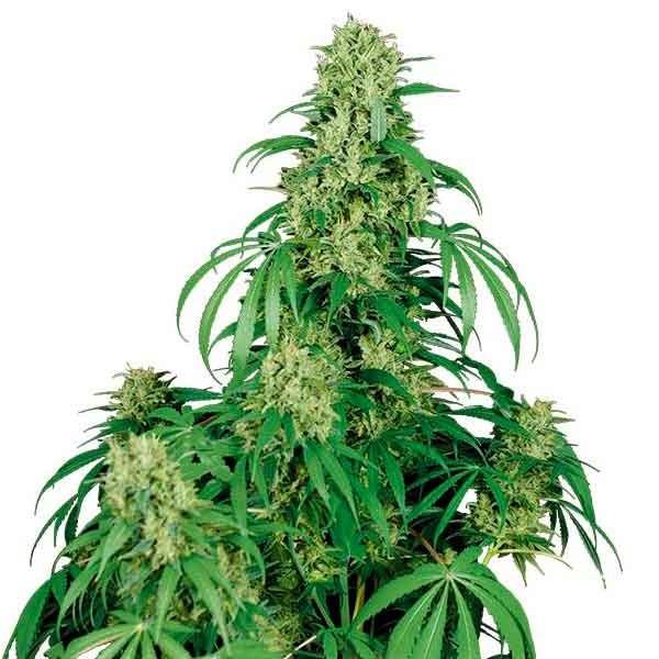 CALAMITY JANE - Buddha Seeds - Seed Banks