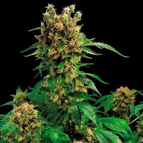 CALIFORNIA HASH PLANT - Dinafem - Seed Banks