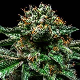 CHEMPIE - Ripper Seeds - Seed Banks