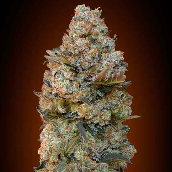 Chocolate Skunk - 00 Seeds - Seed Banks