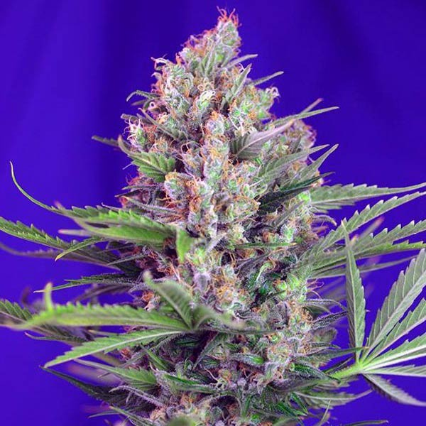 CREAM MANDARINE FAST VERSION  - Sweet Seeds - Seed Banks