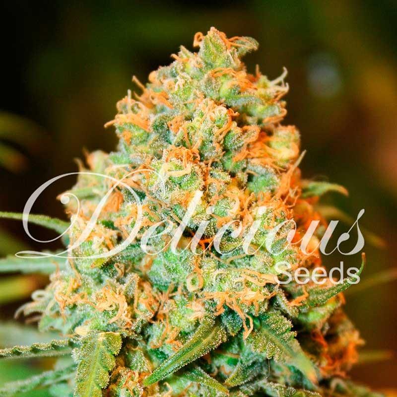 Critical Super Silver Haze - Delicious Seeds - Seed Banks