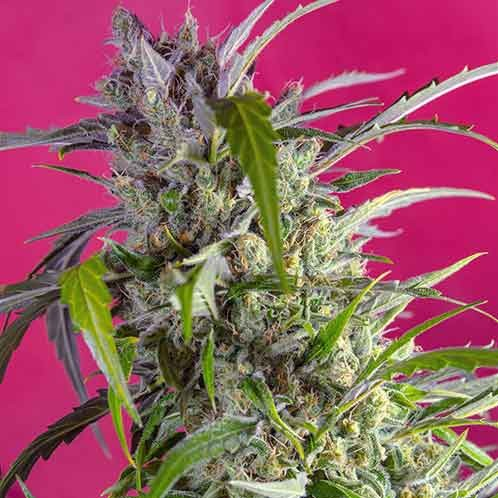 Crystal Candy Auto - Sweet Seeds - Seed Banks