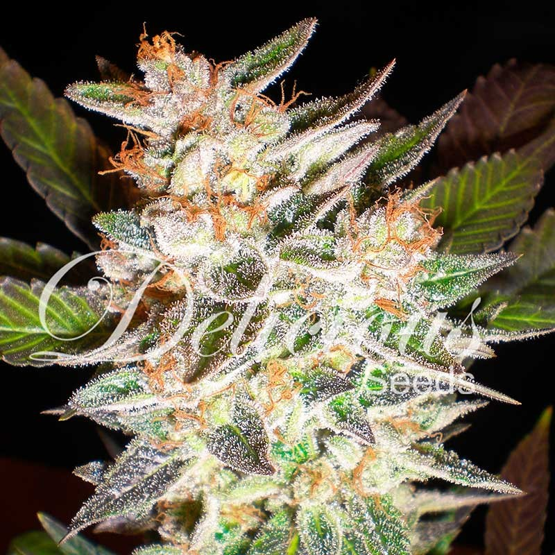 DELICIOUS CANDY AUTO - Delicious Seeds - Seed Banks
