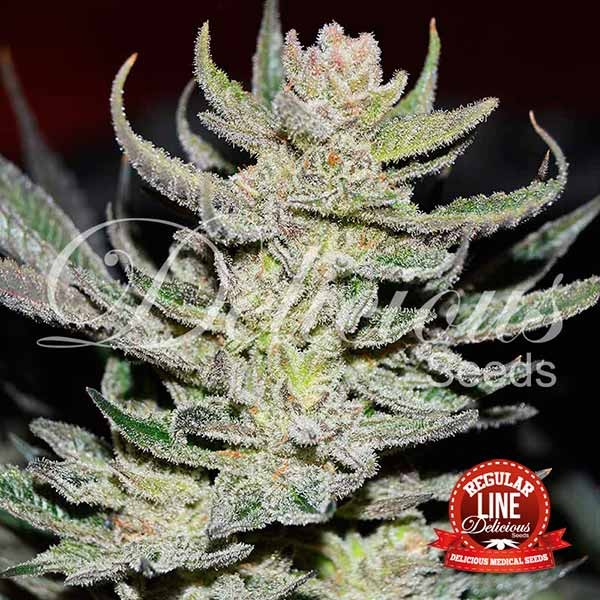 Unknown Kush Regular - Delicious Seeds - Seed Banks