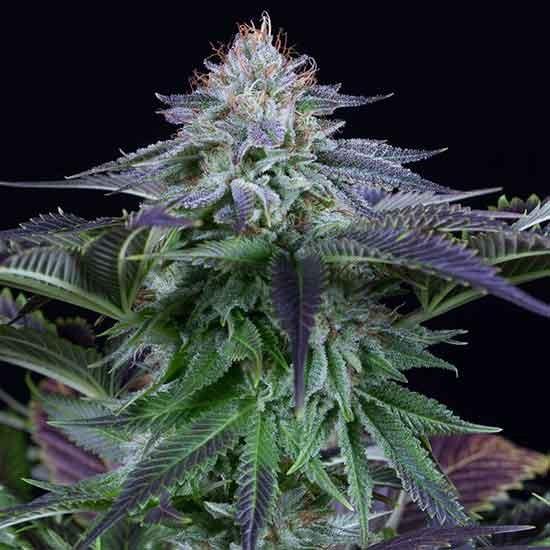Dinamed Kush CBD Autoflowering - Dinafem - Seed Banks