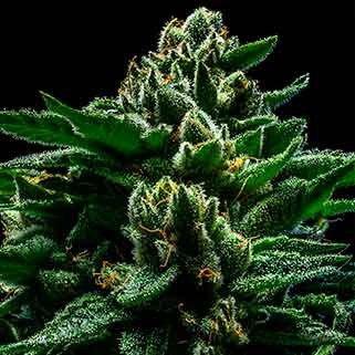 DO-G - Ripper Seeds - Seed Banks
