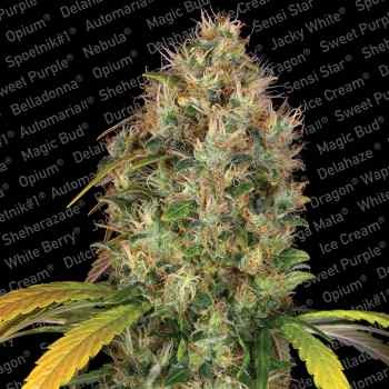 Dutch Kush - Paradise Seeds - Seed Banks