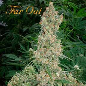 FAR OUT  - Mandala Seeds - Seed Banks