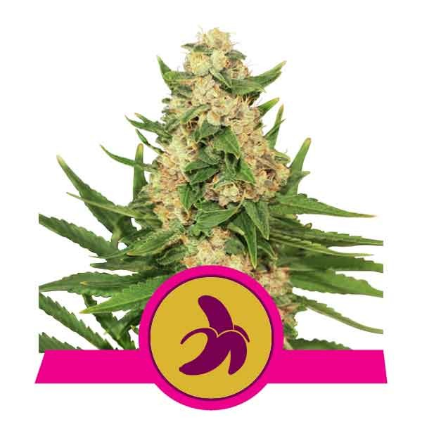 Fat Banana - Royal Queen Seeds - Seed Banks