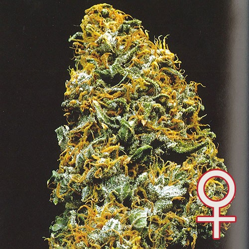 Cristal Paradise - 5 seeds - KC Brains - Seed Banks
