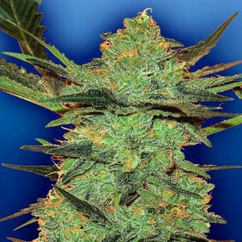 G-Force - 5 seeds - Flying Dutchmen - Seed Banks