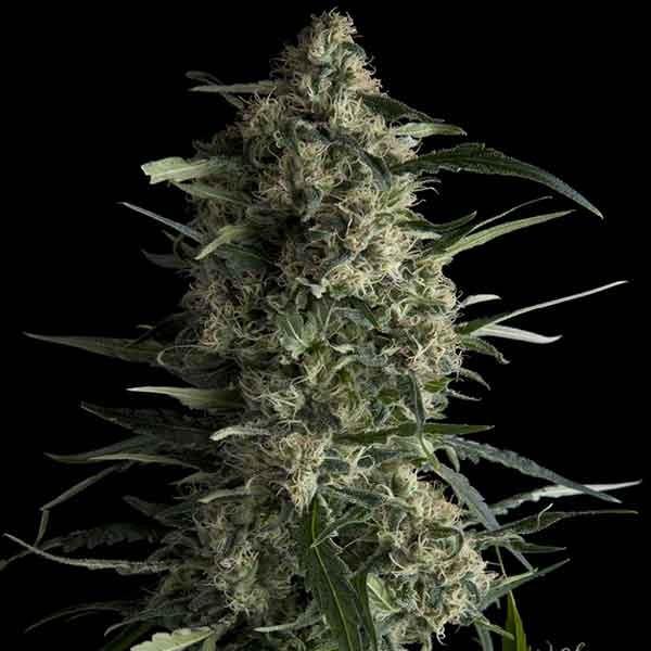 Galaxy CBD - Pyramid Seeds - Seed Banks