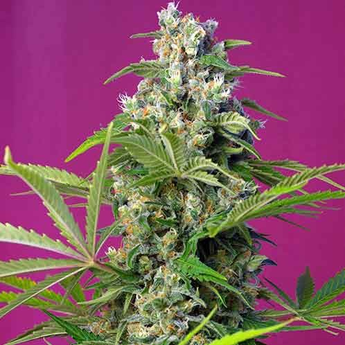 Gorilla Girl - Sweet Seeds - Seed Banks