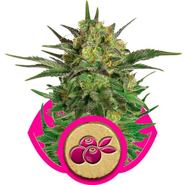 Haze Berry - Royal Queen Seeds - Seed Banks
