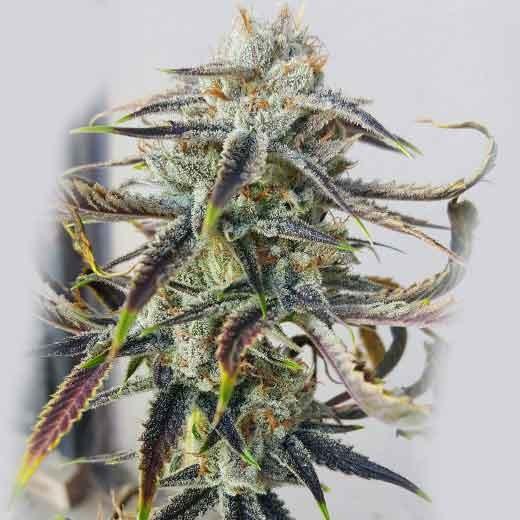 Jenny Kush  - 12 seeds - Rare Dankness - Seed Banks