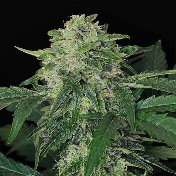 JUNGLE FEVER AUTO - Exotic Seed - Seed Banks