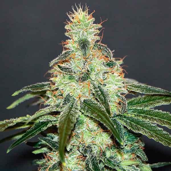 Mataro Blue CBD - Kannabia - Seed Banks