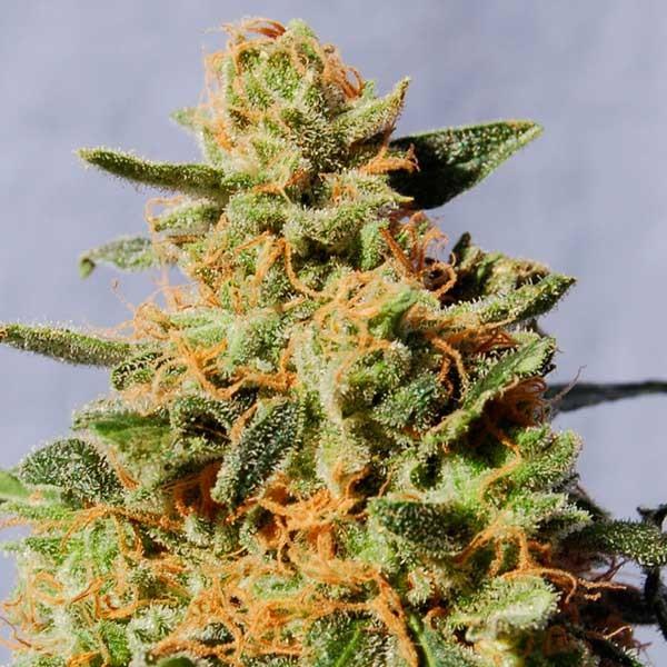 White Domina - Kannabia - Seed Banks