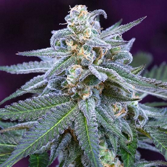Killer Grape - 5 seeds - TGA Subcool - Seed Banks