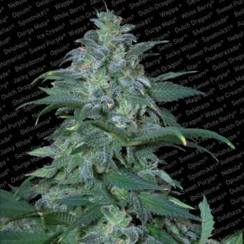 MAGIC BUD - Paradise Seeds - Seed Banks