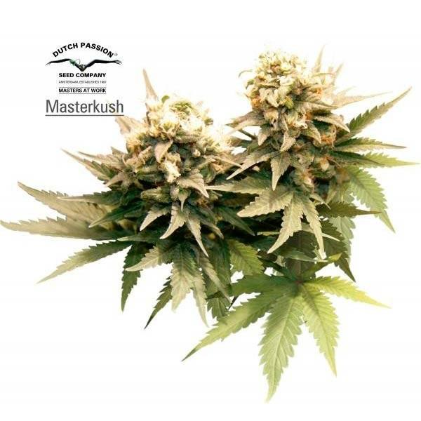 MASTER KUSH - Dutch Passion - Seed Banks