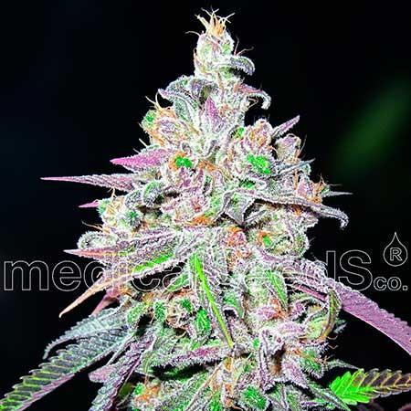 Mendocino Chanel Kush - Medical Seeds - Seed Banks