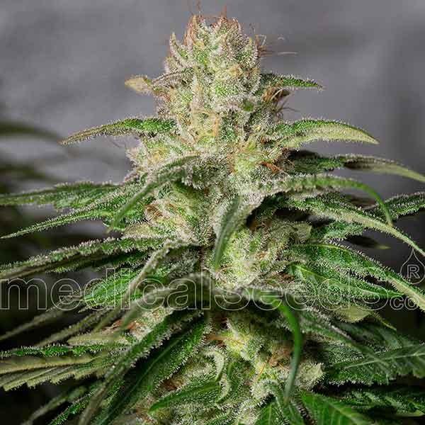 OG Kush CBD - Medical Seeds - Seed Banks