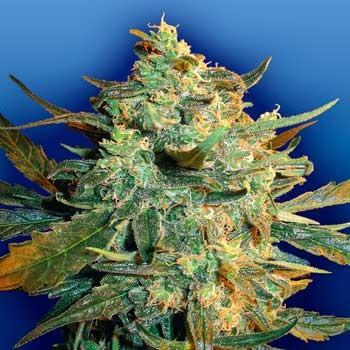 Power Skunk - 5 seeds - Flying Dutchmen - Seed Banks