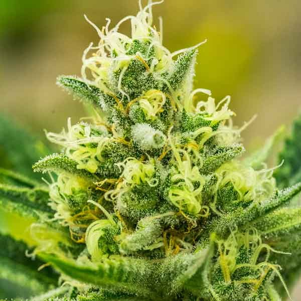 Queen of Soul - 12 seeds - Brothers Grimm Seeds - Seed Banks